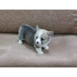 Mini Corgi Puppies for Sale