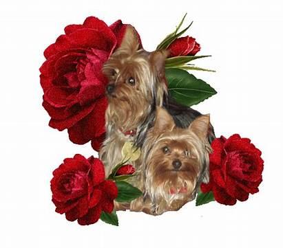 Yorkshire Roses Chiens Gifs Tubes Parmi Couple