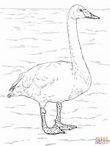 Swan Coloring Tundra Whooper Swans Animals Drawing Trumpeter Printable Supercoloring Colouring Arctic Drawings Owl Designlooter Bird Printables 1536 44kb 2048px sketch template