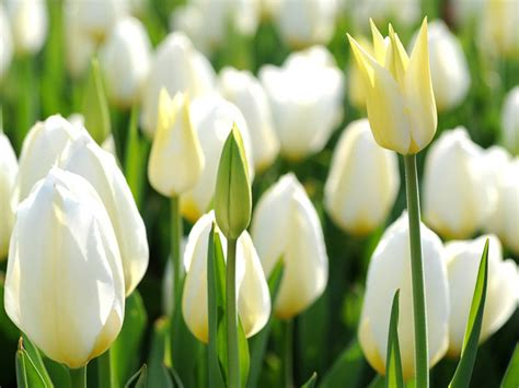 tulip pictures tulip flower pictures white tulip flowers hd wallpapers