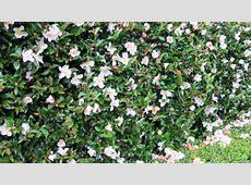 April Blush Camellia Lots of Plants