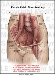 female pelvic floor anatomy medical exhibit medivisuals