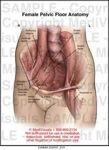 pelvic floor anatomy exhibit medivisuals