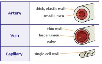 biology gcse revision  describe  structure