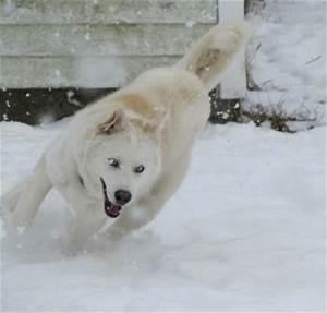 White Siberian Husky In Snow