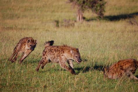 notes  kenya msu hyena research hyena playtime