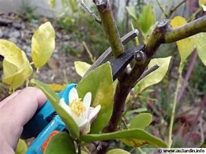 Tailler Un Citronnier : la taille des agrumes ~ Melissatoandfro.com Idées de Décoration