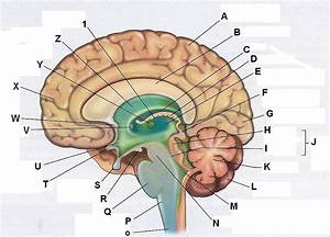 human brain sagittal at Lower Columbia College - StudyBlue