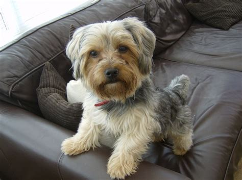 Do Bichon Yorkies Shed by What Are The Best Dog Foods For Yorkshire Terrier