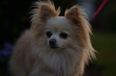 Chihuahua Pomeranian Mix Roxy So Cute You Had Me At Woof Pinterest Pomeranian Mix Dog