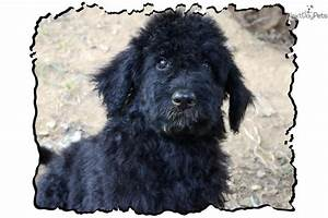 Meet Onyx a cute Shepadoodle puppy for sale for $1,000 ...