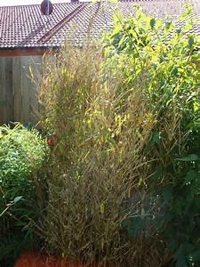 Konifere Wird Braun : bambus wird braun auch neuaustriebe wo liegt das ~ Lizthompson.info Haus und Dekorationen