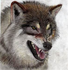 Angry Gray Wolf Wallpaper