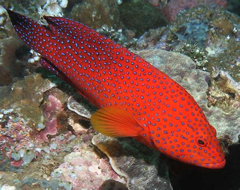 trout coral grouper underwater fish philippines reef highlights barrier philippine colorful colored animals seaman richard ocean fresh lipstick fishing most