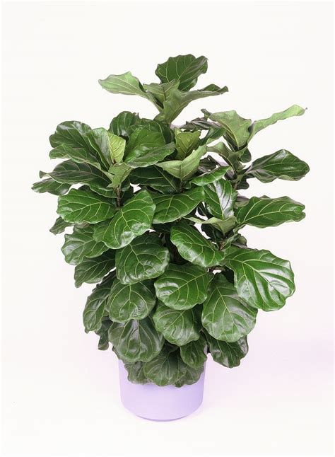 ficus lyrata buy fiddle leaf fig bush ficus lyrata online free shipping over 99 99