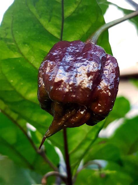 Purple Reaper Chile Plants Super Hot Chiles