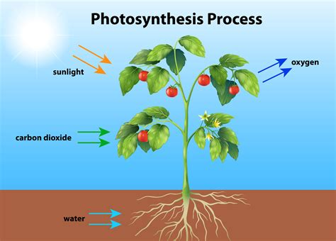 photosynthesis  vector art   downloads