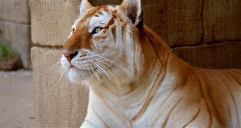 Tigre Dorado Tigr Golden Tiger Rare Cats Bengal