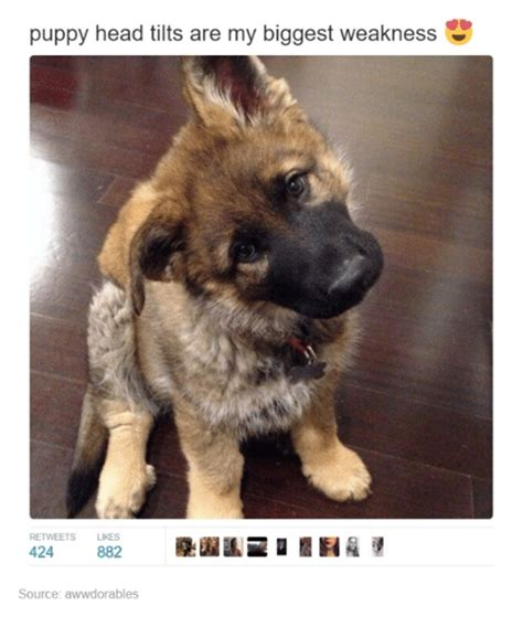 Head Tilt Meme - puppy head tilts are my biggest weakness retweets likes 424 882 source awwdorables funny meme