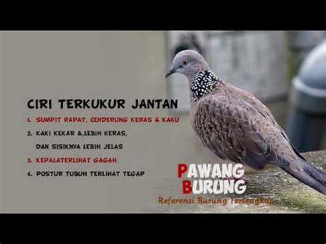 Tips membedakan burung plamboyan jantan dan betina. CIRI BURUNG TEKUKUR JANTAN & BETINA - YouTube