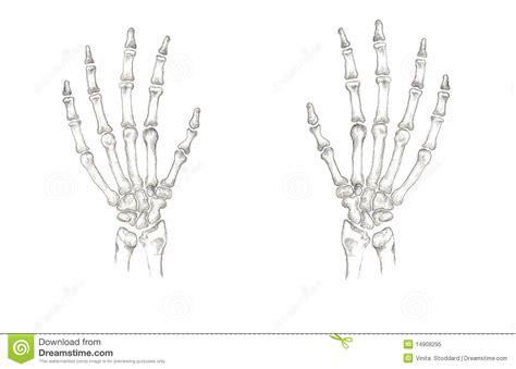 accurate hand bones royalty  stock photo image