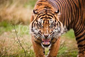 Image Gallery snarling tiger