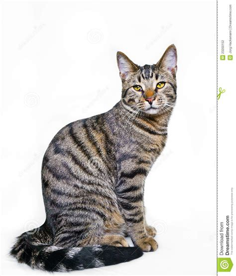 Tabby Cat clipart mackeral - Pencil and in color tabby cat ...