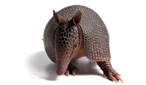 pet armadillo 10 weirdest pets ever snakes and possums and killer fish oh my