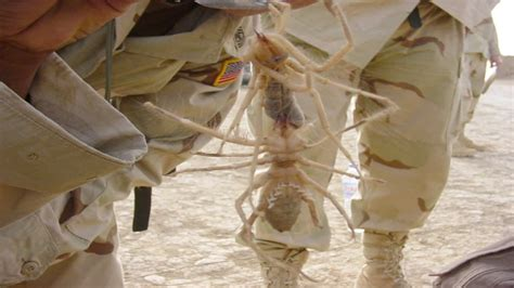 camel spider pictures   fun