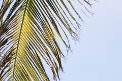 Dipladenia Gelbe Blätter : anthurie bekommt braune bl tter woran liegt 39 s flamingoblume ~ Udekor.club Haus und Dekorationen