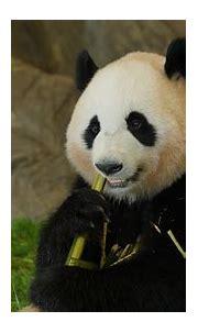 Animal Panda 1 4K HD Animals Wallpapers   HD Wallpapers ...