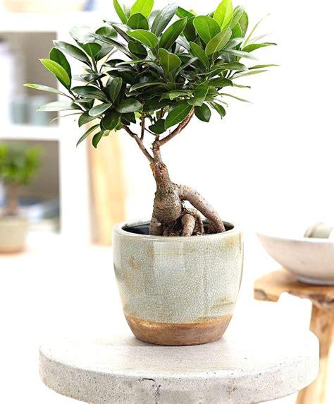 bonsai ficus pflege care for ficus microcarpa ginseng adinaporter