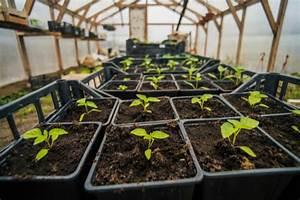 Faire Germer Des Graines De Poivrons : comment r ussir ses semis de poivrons et de piments ann e apr s ann e ~ Melissatoandfro.com Idées de Décoration