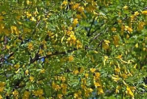 Busch Mit Gelben Blüten : bl hende akazie mit gelben bl ten und gr nen bl ttern gegen den blauen himmel stockfoto ~ Frokenaadalensverden.com Haus und Dekorationen