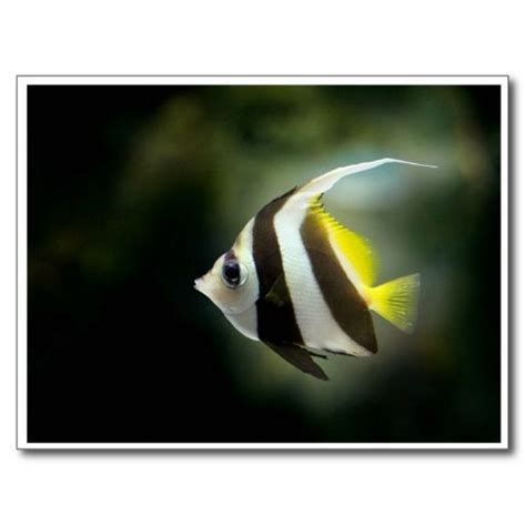 yellow black  white angelfish postcard texts yellow
