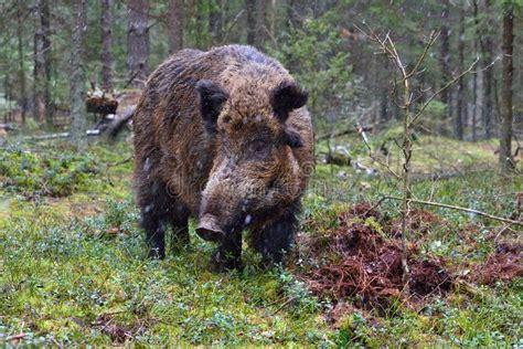 Stor vildsvin arkivfoto. Bild av medf8ort, angus, bifokal ...