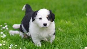 Name That Sheep Herding Dog Breed!   Pupcraze