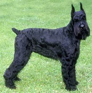 White Giant Schnauzer Puppies For Sale - Goldenacresdogs.com