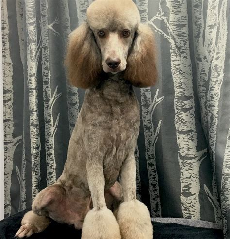 chocolate standard poodle cafe au lait wags riches