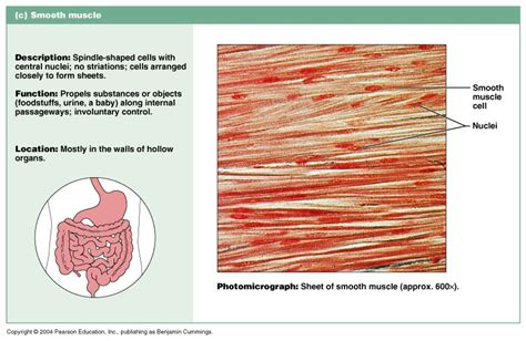 Smooth muscle has a fusiform shape, which resembles a football or spindle. CH 09 General Muscle Terminology