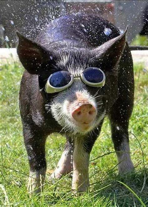 lustige schweine bilder kleine pause unterhaltung