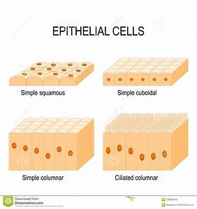 Epithelial Cartoons  Illustrations  U0026 Vector Stock Images
