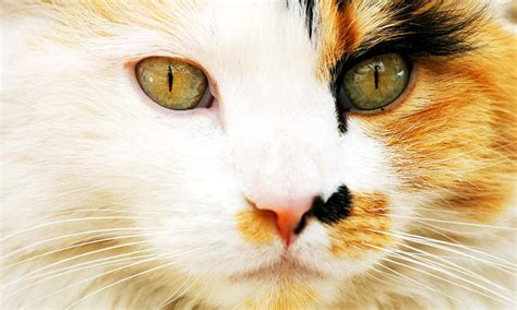 calico cats female why