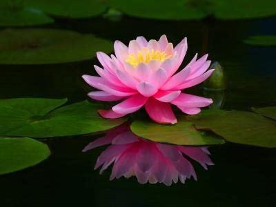 lotusblume bedeutung die lotusbl 252 te gkpraxiss webseite