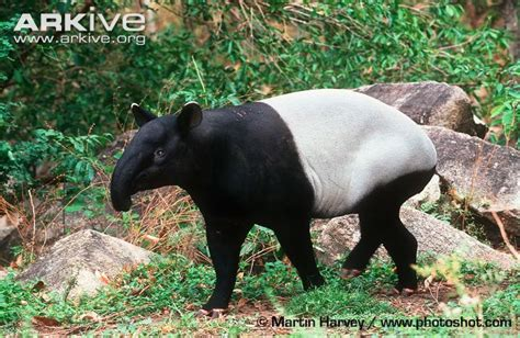 Tapirs Stock Photos & Tapirs Stock Images