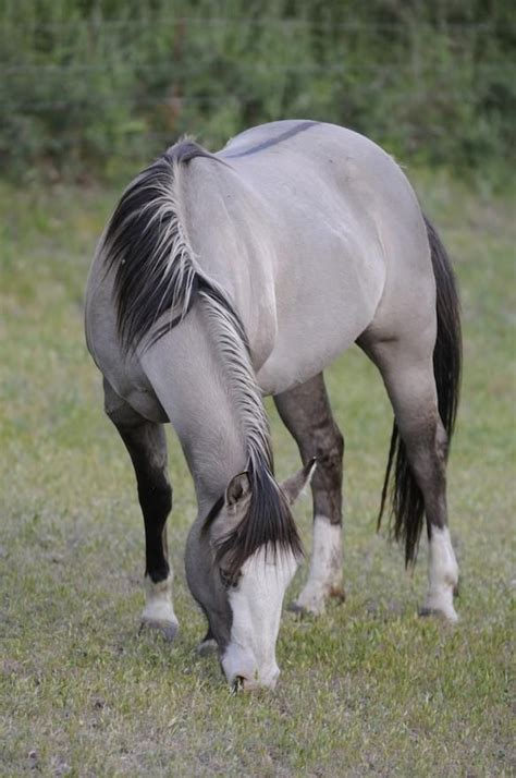 horses america re introduced extinct became north kaynak europeans