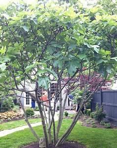 Profondeur Des Racines D Un Figuier : figue et figuier planter un figuier jardinage bio ~ Nature-et-papiers.com Idées de Décoration