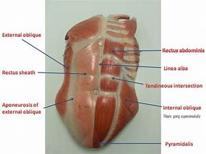 Abdominal Wall Muscles Anatomy - Human Anatomy Diagram
