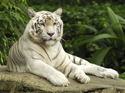 hd wallpapers white tiger hd wallpaper p