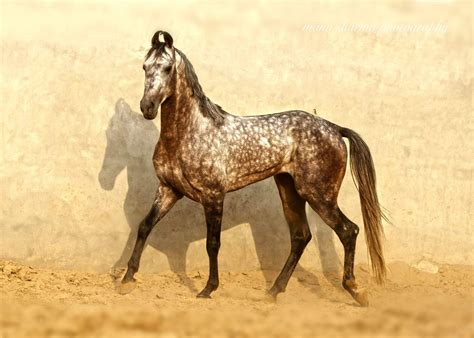 marwari horses horse war india breeds rare were breed indian mongolian cheval equine arabian conditions said there only ancient uploaded